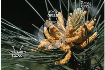Pinus nigra. Black pine. Male strobilus