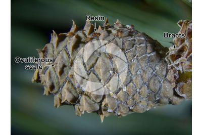 Pinus nigra. Black pine. Female strobilus