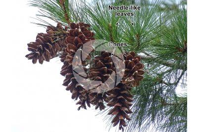 Pinus nigra. Black pine. Strobilus