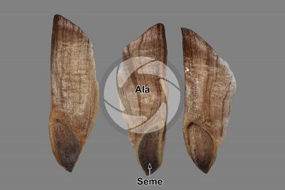 Pinus nigra. Pino nero. Seme