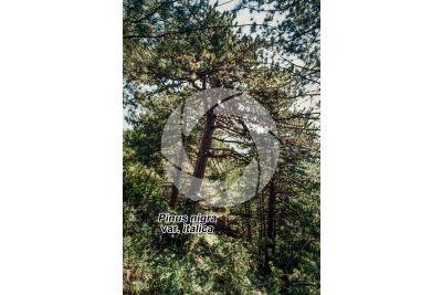 Pinus nigra var italica. Pino di Villetta Barrea. Fusto