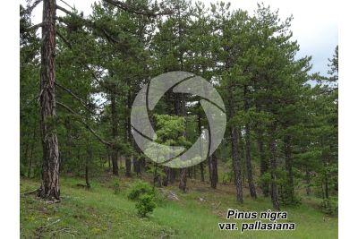 Pinus nigra var pallasiana. Crimean pine. Stem