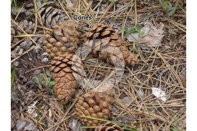 Pinus nigra var pallasiana. Crimean pine. Strobilus