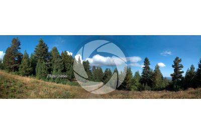 Pinus peuce. Macedonian pine