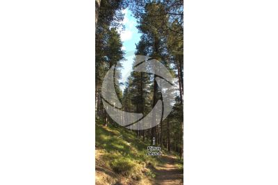 Pinus peuce. Pino della Macedonia