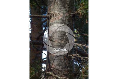 Pinus peuce. Pino della Macedonia. Fusto