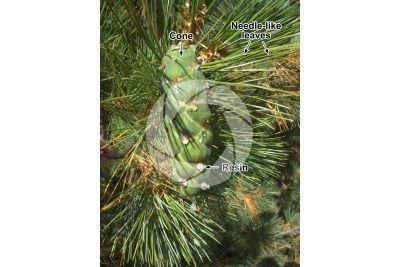 Pinus peuce. Macedonian pine. Strobilus