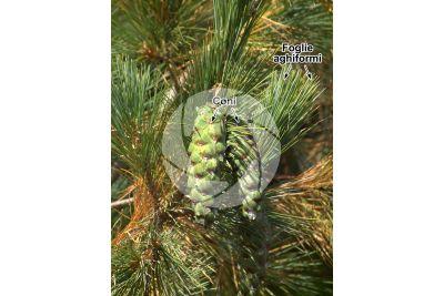 Pinus peuce. Pino della Macedonia. Strobilo