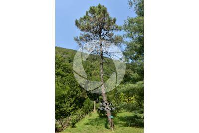 Pinus pinaster. Maritime pine