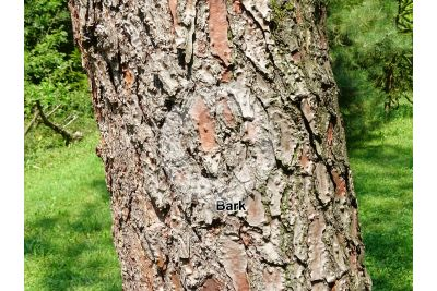 Pinus pinaster. Maritime pine. Stem