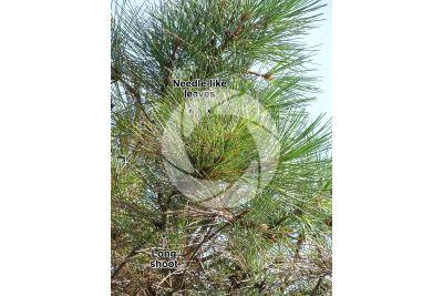 Pinus pinaster. Maritime pine. Leaf