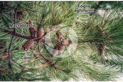 Pinus pinaster. Pino marittimo. Strobilo