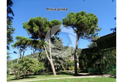 Pinus pinea. Stone pine