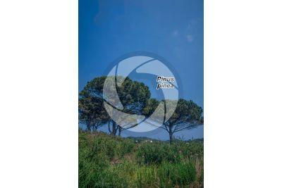 Pinus pinea. Pino domestico