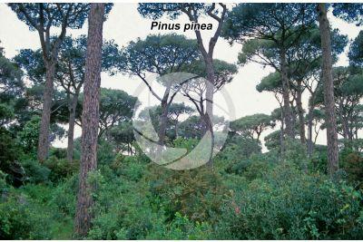 Pinus pinea. Stone pine. Stem