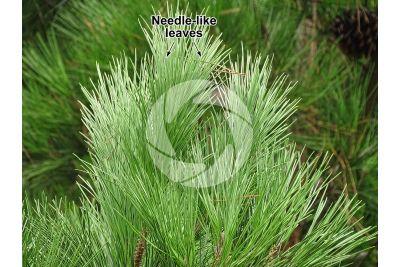 Pinus pinea. Stone pine. Leaf