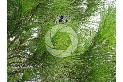 Pinus pinea. Pino domestico. Foglia