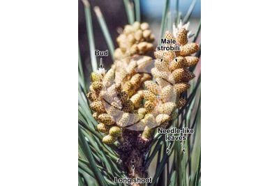 Pinus pinea. Stone pine. Male strobilus