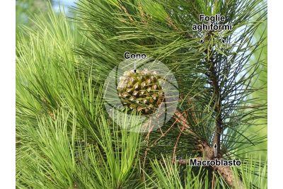 Pinus pinea. Pino domestico. Strobilo