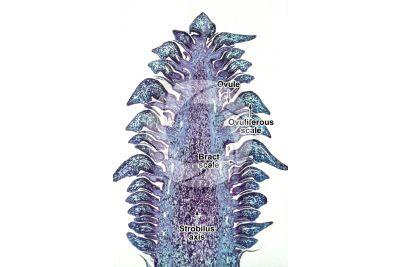 Pinus ponderosa. Bull pine. Strobilus. Longitudinal section. 4X