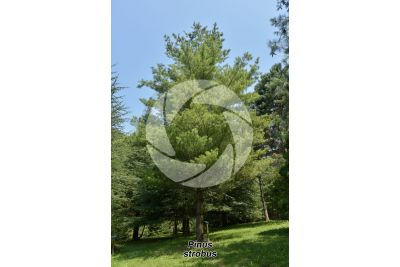 Pinus strobus. Pino strobo