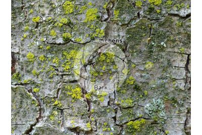 Pinus strobus. Eastern white pine. Stem