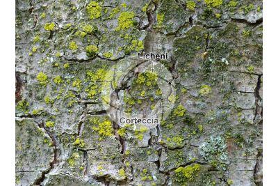 Pinus strobus. Pino strobo. Fusto