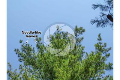 Pinus strobus. Eastern white pine. Leaf