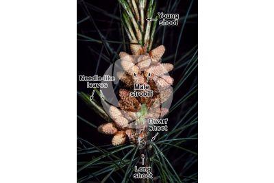 Pinus strobus. Eastern white pine. Male strobilus