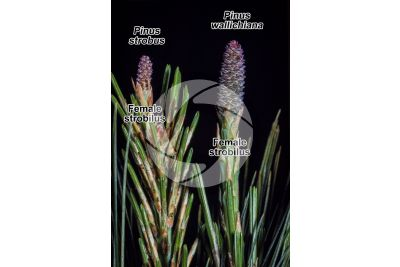 Pinus strobus and Pinus wallichiana. Eastern white pine and Himalayan pine. Female strobilus