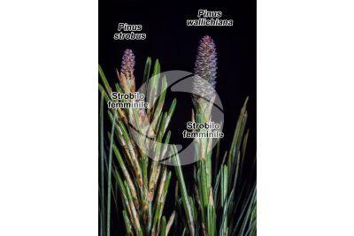 Pinus strobus e Pinus wallichiana. Pino strobo e Pino dell'Himalaya. Strobilo femminile