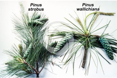 Pinus strobus and Pinus wallichiana. Eastern white pine and Himalayan pine. Strobilus