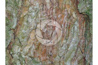 Pinus sylvestris. Scots pine. Stem