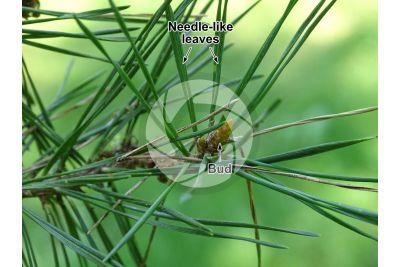 Pinus sylvestris. Scots pine. Leaf