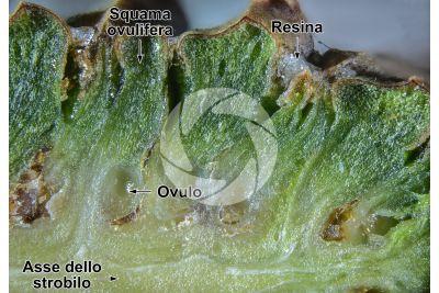 Pinus sylvestris. Pino silvestre. Strobilo femminile. Sezione longitudinale. 20X