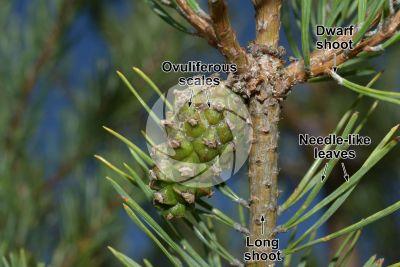 Pinus sylvestris. Scots pine. Strobilus