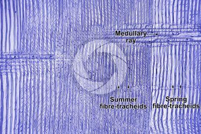 Pinus sylvestris. Scots pine. Stem. Radial longitudinal section. 125X