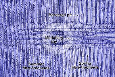 Pinus sylvestris. Scots pine. Stem. Radial longitudinal section. 250X