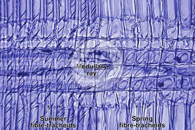 Pinus sylvestris. Scots pine. Stem. Radial longitudinal section. 500X