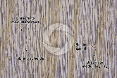 Pinus sylvestris. Scots pine. Stem. Tangential longitudinal section. 64X