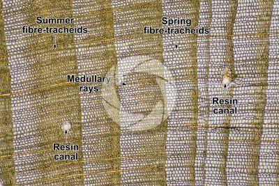 Pinus sylvestris. Scots pine. Stem. Transverse section. 64X