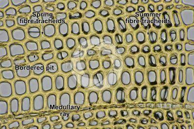 Pinus sylvestris. Scots pine. Stem. Transverse section. 500X