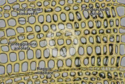Pinus sylvestris. Pino silvestre. Fusto. Sezione trasversale. 500X