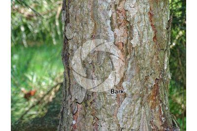 Pinus tabuliformis. Chinese red pine. Stem