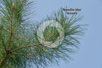 Pinus tabuliformis. Chinese red pine. Leaf