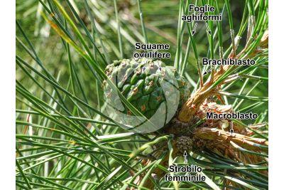 Pinus tabuliformis. Pino rosso cinese. Strobilo