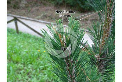 Pinus thunbergii. Japanese black pine. Leaf