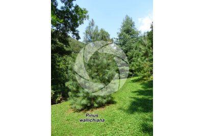 Pinus wallichiana. Himalayan pine