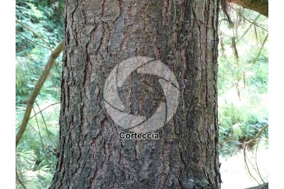 Pinus wallichiana. Pino dell'Himalaya. Fusto