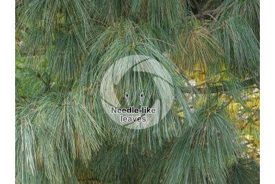 Pinus wallichiana. Himalayan pine. Leaf